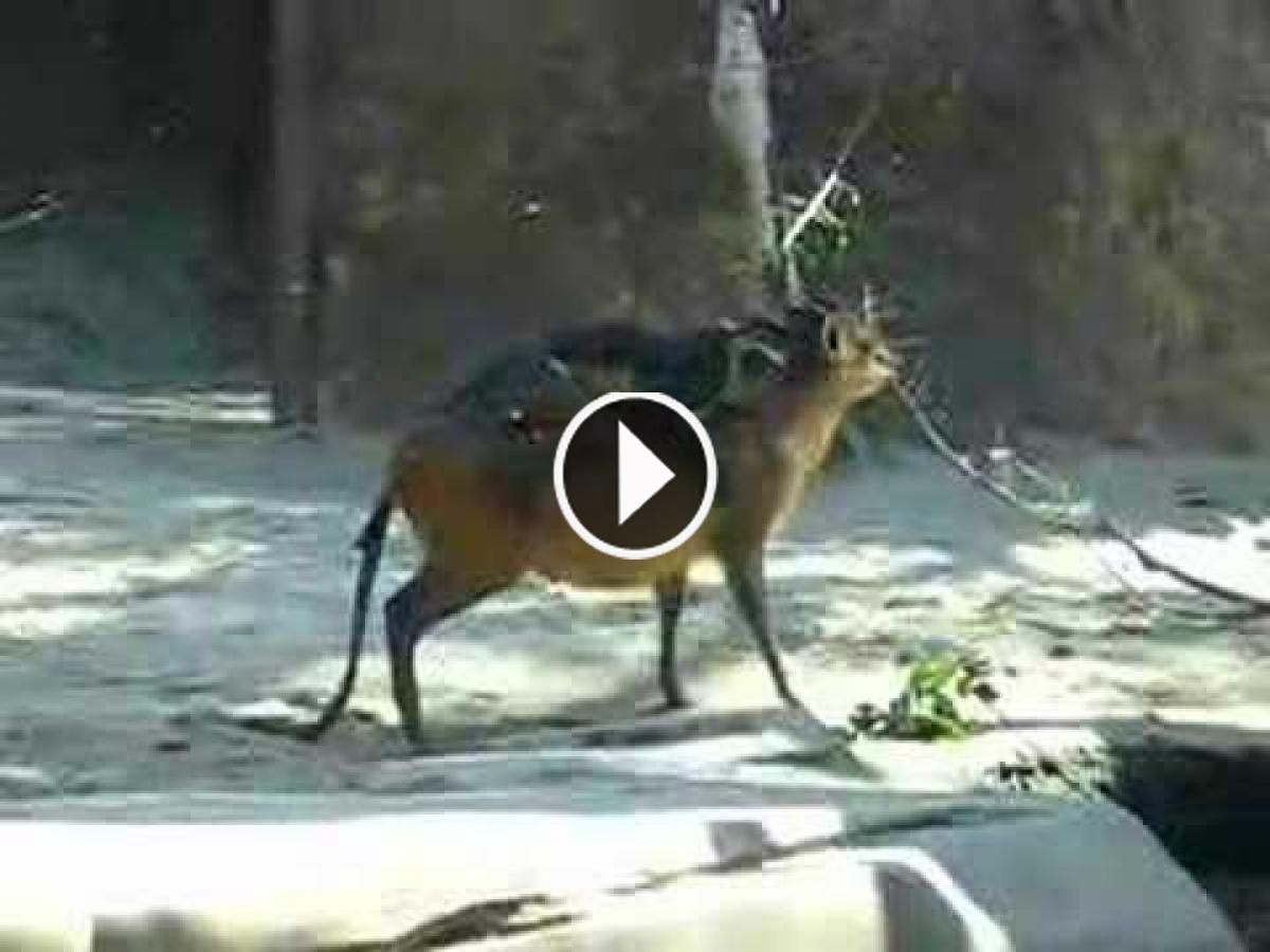 A Monkey By Chance Mounted On A Tiny Deer's Back. Watch! What Happened Next!!