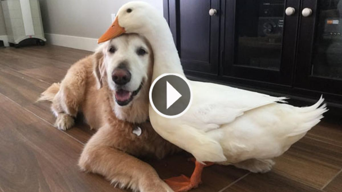 The Inalienable Friendship Between The Dog And The Duck Is Utterly Surprising. Please Watch!!