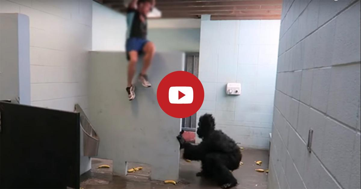 Look! How The Guy Frightens All In The Bathroom Feigning Of An Escaped Gorilla That Is Only Prank. Really Laughable.