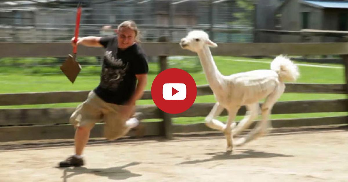 The Guy Gets An Honest Day Workout To Clean Llama's Enclosure But What The Animal Does With Him Really Makes Millions Laughter.