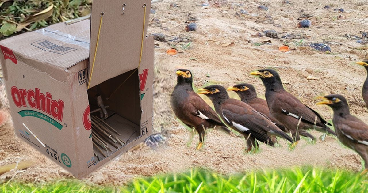 Smart Village Girl Catches Birds Using Paper Box Bird Trap That Is Really Awesome And Works.
