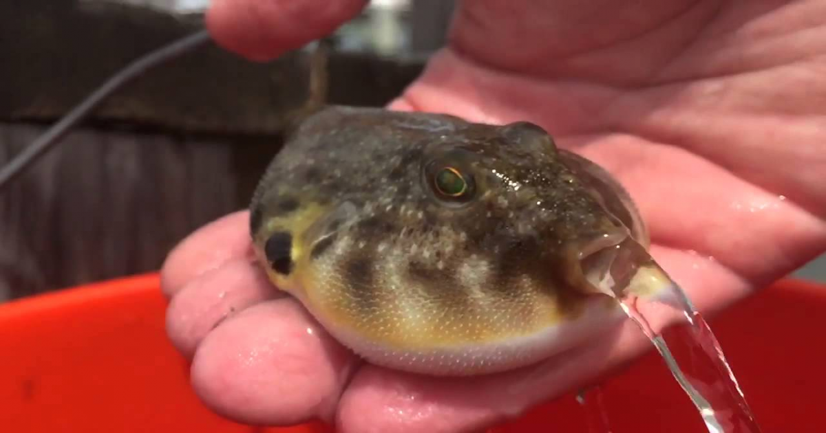 Inflated Puffer Fish Suddenly Opens Its Mouth And Shows Its Fabulous Ability.