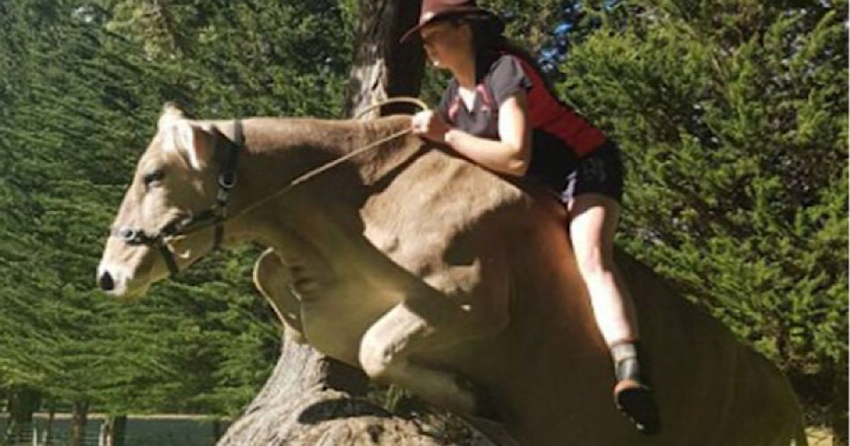 Girl's Parent Wouldn't Buy Her A Horse So She Trained Her Dairy Cow Instead That Is More Powerful than Horse.