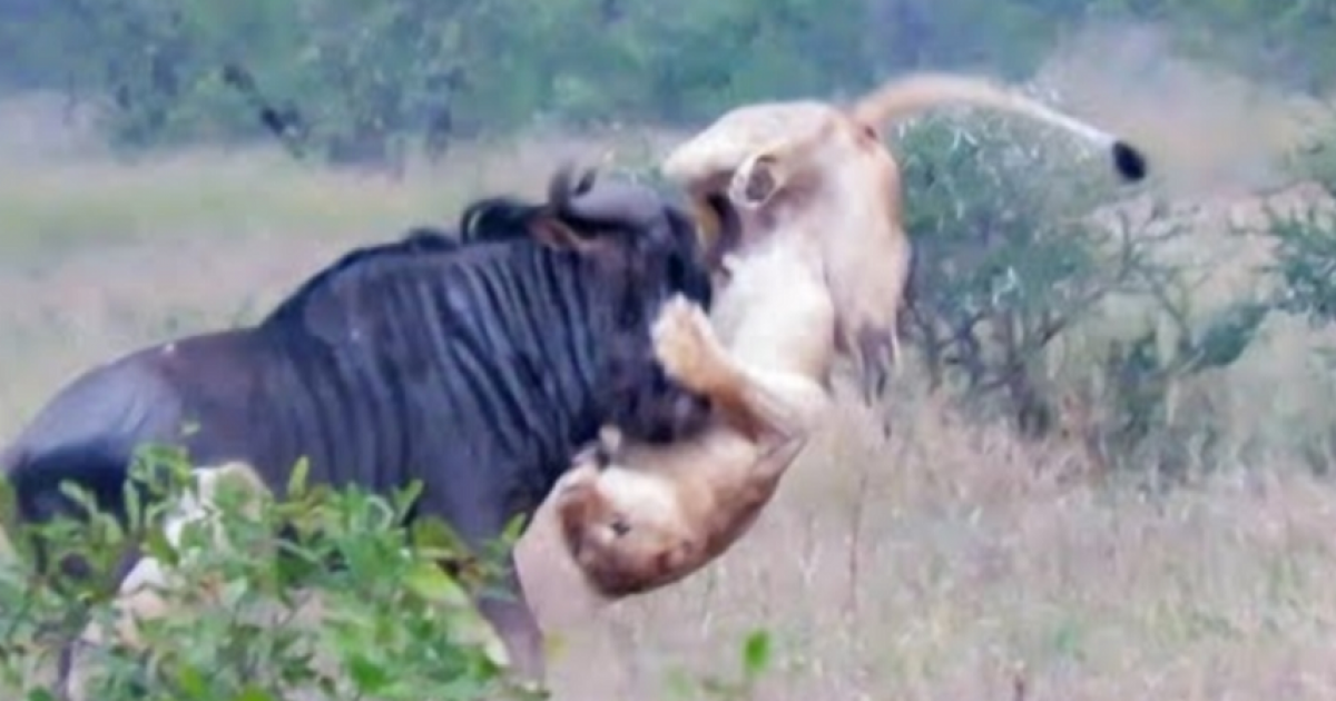 Wildebeest Fights Off Two Hungry Lions That Is Really Praiseworthy.