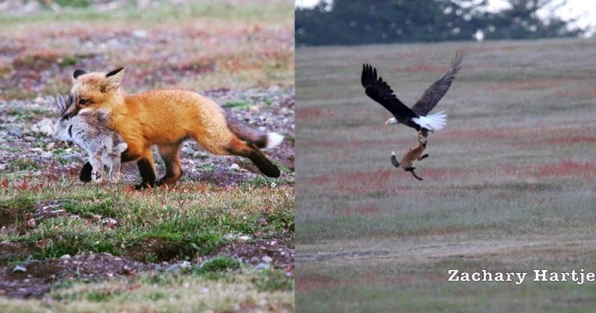 Bald Eagle And Red Fox Start Fight Over A Rabbit In Mid-air Caught On Video.