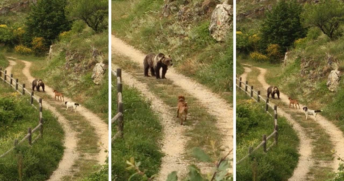 Daring Dogs Defend A Hungry Bear And Chase It Like Heroes.