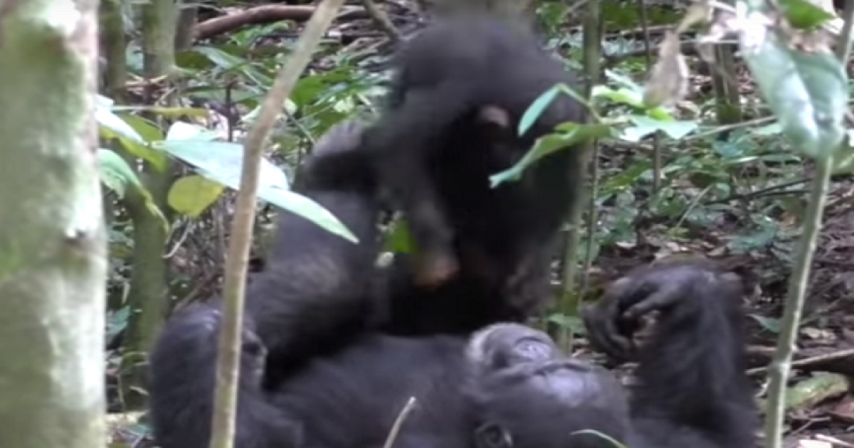 Sweet Video Of Adorable Chimpanzee Who Is Playing 'Airplane Game' With Baby.