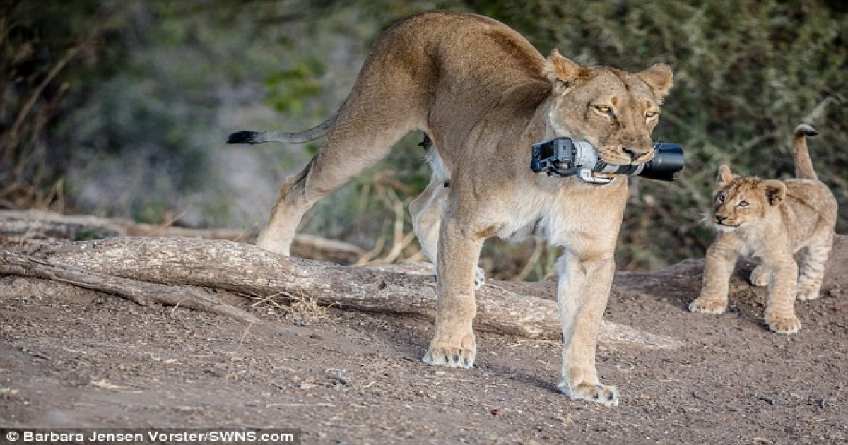 Lioness Snatches £2,000 Photographer's Camera For Her Adorable Cubs.