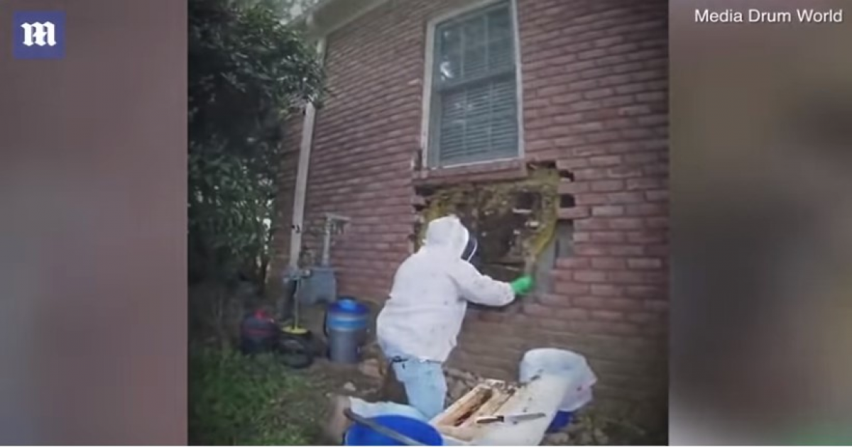 Bee Whisperer Removes Breaks Of The Wall But He Could Not Believe His Eyes.