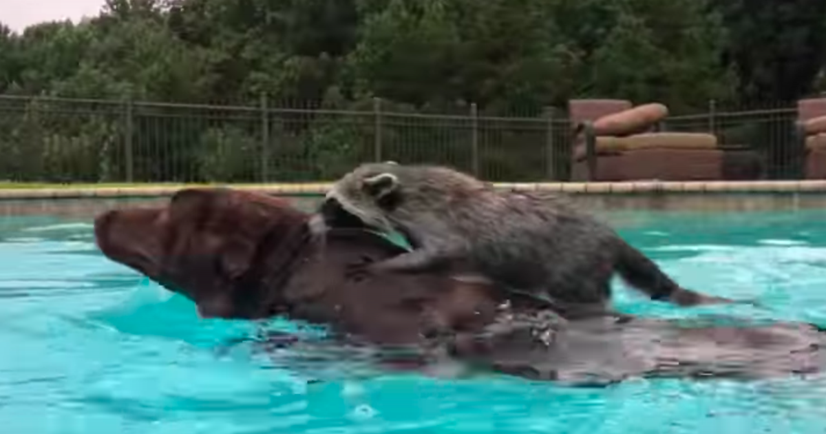 Clever Raccoon Give Penny The Dog A Swimming Lesson.