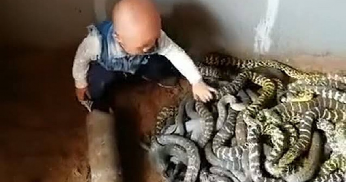 Fearless Toddler Handling A Nest Of Snakes Before He Can Even Talk.