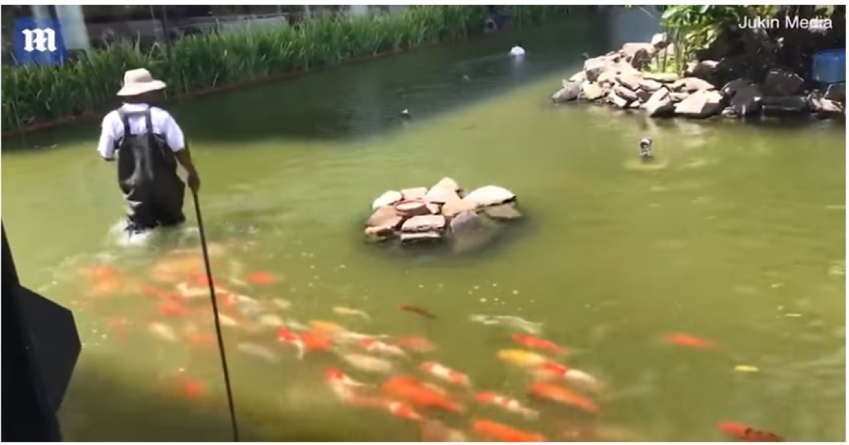 School Of Koi Carp Swim After Their Keeper During Feeding Time To Ensure They Get A Big Lunch.
